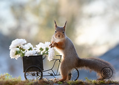 red squirrel on a bike with white flowers (Geert Weggen) Tags: bicycle cycling squirrel animalwildlife animalsinthewild autumn day dinner eating eurasianredsquirrel food foodanddrink fruit grass healthylifestyle horizontal meal metal nopeople old outdoors photography picnic smelling summer sweden tasting transportation wheel woodland working flower aster white bispgården jämtland geert weggen ragunda