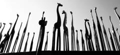 Long Necks (MAKER Photography) Tags: monochrome black white bw greyscale single colour color grey giraffe wood sky tollwood smartphone phone lg g3 cellphone