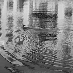 Mercury (Two Dragons - @robthomasphoto) Tags: autumn cumbria england fall greatbritain kendal lakedistrict november unitedkingdom seasons ©2018robthomas ©robcolinthomas ©robthomasphotography bw blackandwhite monochrome avian bird water ripples ecotherapy river robthomasphotography robthomas riverkent grebe