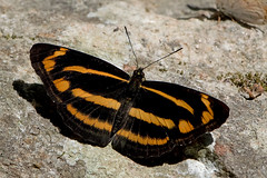 Neptis ananta - the Ananta Yellow Sailer (BugsAlive) Tags: butterfly mariposa papillon farfalla 蝴蝶 schmetterling бабочка conbướm ผีเสื้อ animal outdoor insects insect lepidoptera macro nature nymphalidae neptisananta anantayellowsailer limenitidinae wildlife doiinthanon chiangmai ผีเสื้อในประเทศไทย liveinsects thailand thailandbutterflies nikon105mm bugsalive ผีเสื้อกะลาสีเหลืองอนันต์