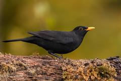 Blackbird D85_6850.jpg (Mobile Lynn) Tags: nature birds thrushes blackbird bird fauna oscines passeri passeriformes songbird songbirds turdusmerula wildlife coth specanimal coth5 ngc npc