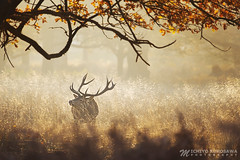 Red Deer IV (Michiyo Photo) Tags: deers deer reddeer natural nature woldlife wild autumn tree relax peace afternoon fog park richmondpark richmond surrey southern england southernengland light rays sunrays unitedkingdomcanon5d mark iii