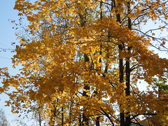Trees in yellow (cloversun19) Tags: rain animal field grass landscape branches leafs foliage sky russia russian spb tree walking country holiday holidays park garden dream dreams positive forest happy view grey legend fairytale fir firtree birch village evening romantic october september car road street blue maple leaves town city light sun yellow autumn trees