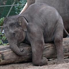 asiatic elephant  sanuk 094A0230 (j.a.kok) Tags: olifant asiaticelephant aziatischeolifant animal artis asia ape elephant mammal zoogdier dier nicolai sanuk