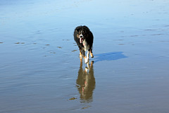 Dashing on the Beach (JB by the Sea) Tags: sanfrancisco california october2018 fortfunston dog australianshepherd aussieshepherd aussie dash