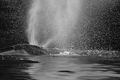 Whale spout (tmeallen) Tags: humpbackwhale megapteranovaeangliae spout wildlife mists blackandwhite whalechannel britishcolumbia travel water backlit