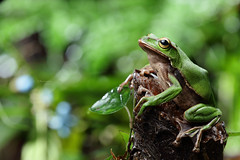 2J4A8039 (ajstone2548) Tags: 12月 樹蛙科 兩棲類 翡翠樹蛙
