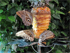 Tropical Treat (acadia_breeze4130) Tags: hershey pennsylvania butterflyatrium butterfly butterflies nectaring pineapple tropical warm foliage green owlbutterflies nature sx60hs karencarlson