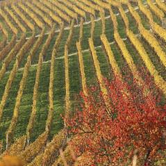 Langhe, terra di vigne (Marco Ottaviani on/off) Tags: italia piemonte cuneo grinzanecavour langhe vigneti autunno marcoottaviani