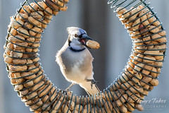 December 7, 2018 - Backyard Blue Jay. (Tony's Takes)