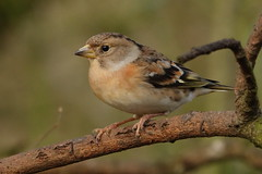 Brambling (hedgehoggarden1) Tags: brambling birds rspb wildlife nature creature sonycybershot animal norfolk eastanglia uk bird sony branch