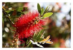 Brightness of Red (Greenstone Girl) Tags: bottlebrush calistemon red florets native plant bokeh