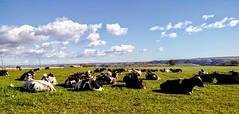 Altopiano Ragusa : Mucche ruminanti (Fausto Bufardeci) Tags: mucche campagna sicilia erba cielo nuvole pascolo italia latte