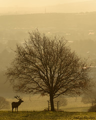 Stag at Sunrise (Adam Stinton) Tags: wildlife mammals reddeer animmals nature bristol england uk sunrise silhouette urban ashtoncourt deerpark