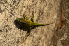 Catch and release. Cuban anolis was too close to the road, so we moved him to the other side of the fence. (lezumbalaberenjena) Tags: santa clara cuba villas villa 2019 lezumbalaberenjena independencia bonachea lizard anolis lagartija