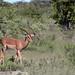 The elegance of the impala