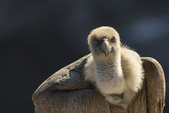 Contact visuel - Eye contact (bboozoo) Tags: griffonvulture vautourfauve oiseau bird nature wildlife canon6dii canon100400 tête head yeux eyes