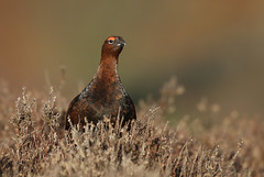 Red Grouse (Lagopus lagopus scotica) (Fly~catcher) Tags: red grouse lagopus scotica heather moorland north yorkshire moors bird