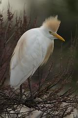 Héron gardeboeuf en période nuptiale (vyclem78) Tags: hérongardeboeuf oiseaux camargue oiseau animalier yvetteclemenson