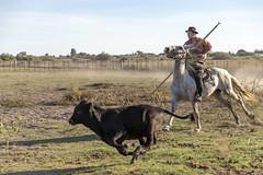 Course (Xtian du Gard) Tags: xtiandugard camargue provence gardian manadier taueau taurillon cavalier course ombre job