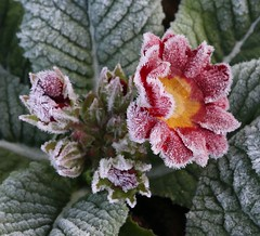 Frosted primulas 2 (kitmasterbloke) Tags: cold frost icecrystals winter essex nature plants pattern geometric symmetry ground landscape outdoor uk morning temperature sunlight sunny