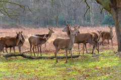 Deer (Johnchess) Tags: richmondpark fridaybirdgroup 18january2019