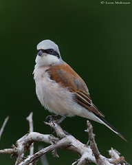 Red-backed Shrike (m) (leendert3) Tags: select leonmolenaar southafrica krugernationalpark wildlife nature birds redbackedshrike ngc npc