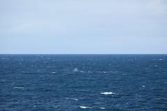 IMG_0202 (y.awanohara) Tags: humpbacks humpbackwhales whales whale southgeorgia scotiasea january2019 wildlife cetacean