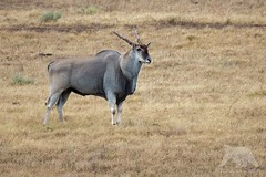 Eland Bull (fascinationwildlife) Tags: animal mammal eland elandantilope antelope antilope bull male wild wildlife nature natur national park addo elephant south africa summer südafrika afrika southafrica field tiere