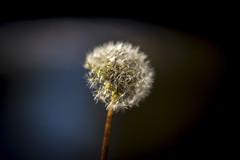 Dandelion (pmadel12) Tags: dandelion nature outdoors flower white bokeh blur summer beautiful minnesota stem fuzzy fluffy black brown park owatonna dark