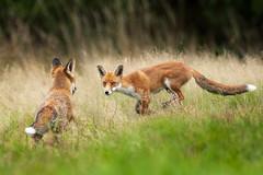 Red foxes (glidergoth) Tags: fox red pair vulpesvulpes british wildlife mammals