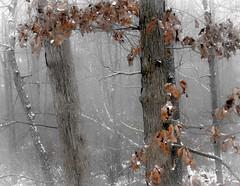 sno seance (bidutashjian) Tags: snow snowfall trees leaves cold weather quiet white winter autumn fall evening nikon bidutashjian snowing snowstorm