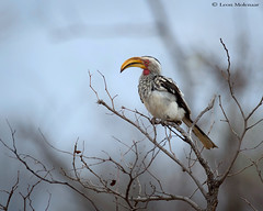 Yellow-billed Hornbill (leendert3) Tags: leonmolenaar wildlife nature southafrica krugernationalpark birds yellowbilledhornbill naturethroughthelens specanimal