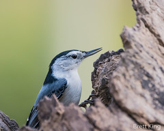 white breasted nuthatch (dbking2162) Tags: white breasted nuthatch nature nationalgeographic wildlife birds bird beautiful beauty indiana explore