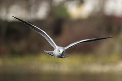 De face - Front (bboozoo) Tags: oiseau bird mouette seagull nature animal wildlife canon6dii canon100400 lake lac bif