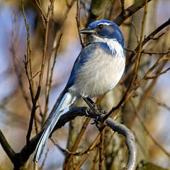 Mr. Scrub Jay (1crzqbn) Tags: inmygarden bird outside sunlight bokeh scrubjay blue 52522018 nature