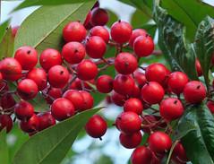 red berries 2 (foxtail_1) Tags: g9 panasonicg9 lumixg9 hahnhorticulturegarden hahngardens hahngarden redberries heavenlybamboo nandinadomestica