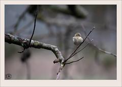 US850-0222 (Weinstöckle) Tags: vogel erlenzeisig