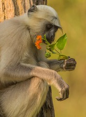 A tasty snack (Donna Hampshire) Tags: northernplainsgraylangur primate semnopithecusentellus wildlifeofindia wildlife corbettnationalpark donnarobinson donnahampshire canon nationalgeographic dailytelegraph ngc