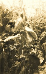 (giggie larue) Tags: botanicals blackberry vine winter backlight decay sepia