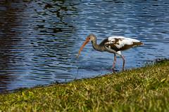 Ibis drooling (DKordella) Tags: florida birding wildlife animal nature orlando ibis