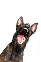 Stop the cuteness! (Wieselblitz) Tags: shepherd germanshepherd gsd dog dogs dogphotography dogphotographer dogportrait doginthestudio white whitebackground snap snapping snapshot snapshotphotography treat treats hungry hungrydog screaming aggressive