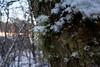 Lichen creeping and crawling, well very slow that is. (Tor Langli) Tags: sunshine sun karlstad sverige landscape tree nature landskap wintersun scandinavia lichen winter sweden natur snow