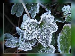 Frozen Feelings (TonyFernando) Tags: frozenfeelings frost hoarfrost leaves foliage outdoors