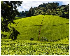 A Tea Farm Patchwork (nickyt739) Tags: kenya kenyan tea farm fields green landscape nature trees leaves nikon dslr countryside africa east d5100 explore adventure flickrsbest patchwork travel traveller