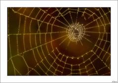 Lingotes de oro (V- strom) Tags: telaraña spiderweb oro gold macro macrophotography macrodefauna bokeh texturas nikon nikond700 nikon105mm amarillo yelow agua whater gotasdeagua raindrops vstrom luz light brillo brightness