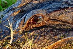 Alligator ready for it's close-up at Spillway Bridge at Brazos Bend State Park 1/28/2019). (stalnakerjack) Tags: wildlife park texasparks brazosbendstatepark nature alligators alligator