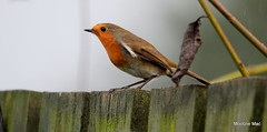 Raindrop Robin (mootzie) Tags: robin raining garden brown red feathers ruffled wildlife raindrops bird nature scotland aberdeenshire