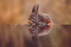 Arjan Troost - Boshut Sallandse Heuvelrug - 27/01/2019 - eekhoorn (MHR Roes) Tags: arjantroost sallandseheuvelrug vogelkijkhut eekhoorn redsquirrel