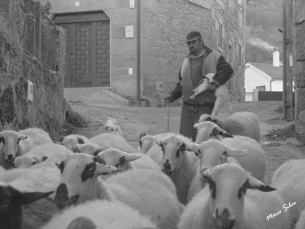 Águas Frias (Chaves) - ... o pastor com o seu rebanho e o novo elemento tem o previlégio de ir ao colo ...
